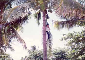 Fr. Blute up coconut tree